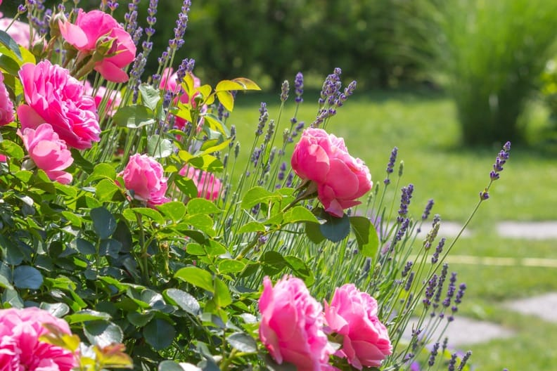 Malvenrost an Stockrosen: So bekämpfen Sie den lästigen Pilz
