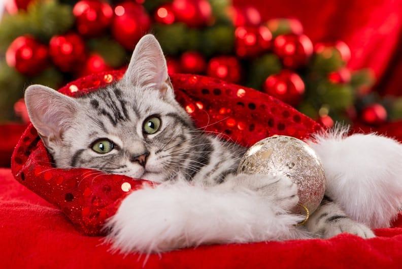 weihnachten mit katzen so vermeiden sie stress. Black Bedroom Furniture Sets. Home Design Ideas