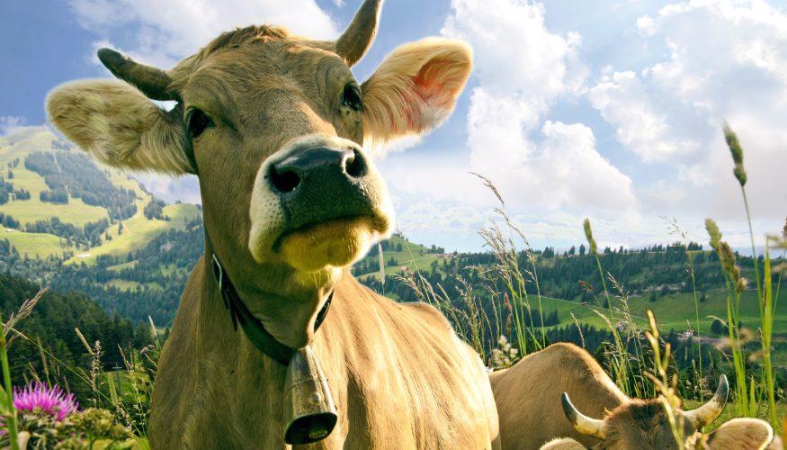 Milch von Almwiesen – Ist sie besonders gut?