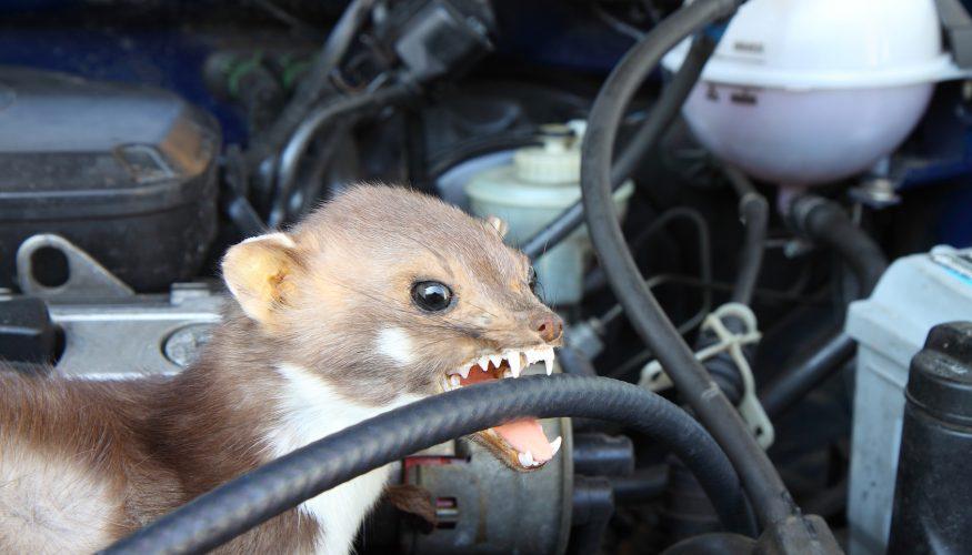 Auto vor Marder schützen