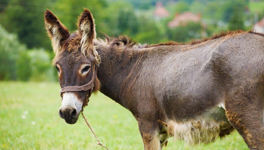 Sind Esel dumm?