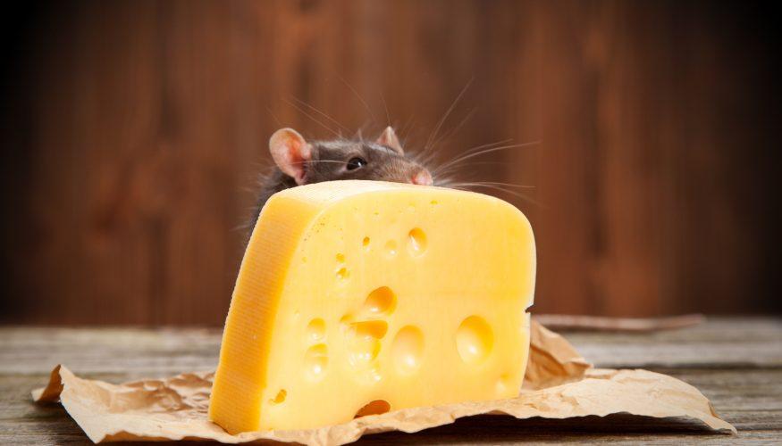 Fressen Mäuse Käse?