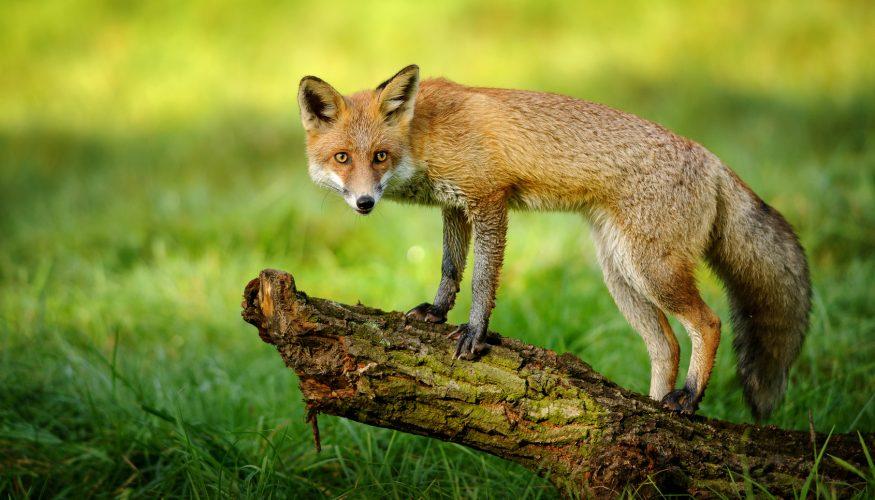 Füchse stehlen Gänse – Stimmt's?