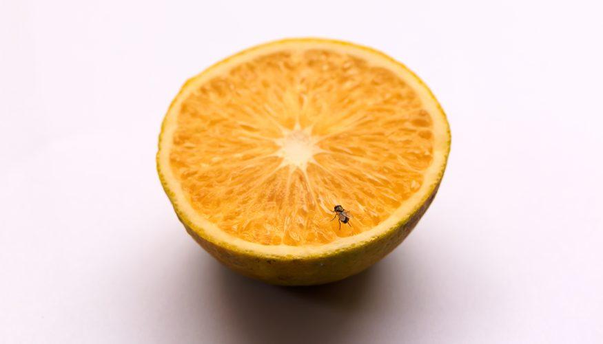 Obstfliegen bekämpfen – 7 Tipps