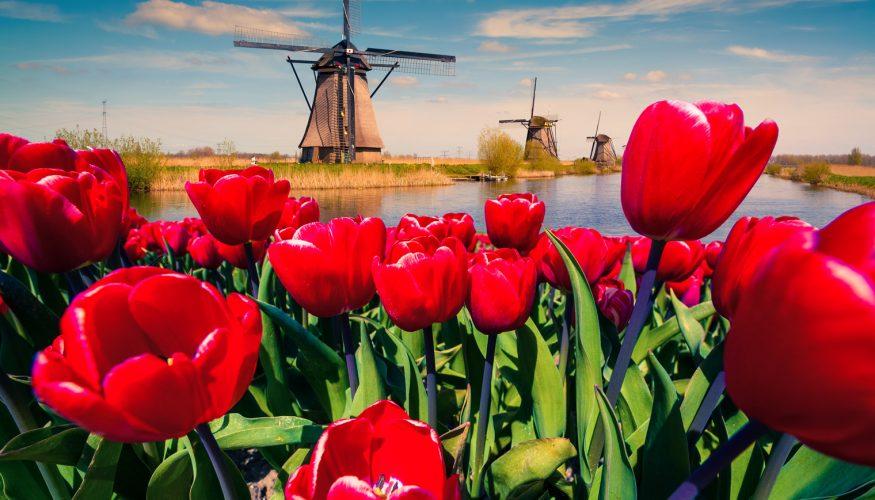 Kommen Tulpen grundsätzlich aus Holland?
