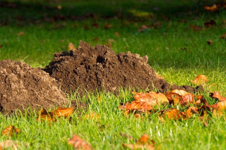 Frische Erde dank Maulwurfshügel