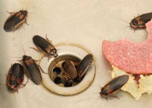 Kakerlaken sammeln sich um Abfluss