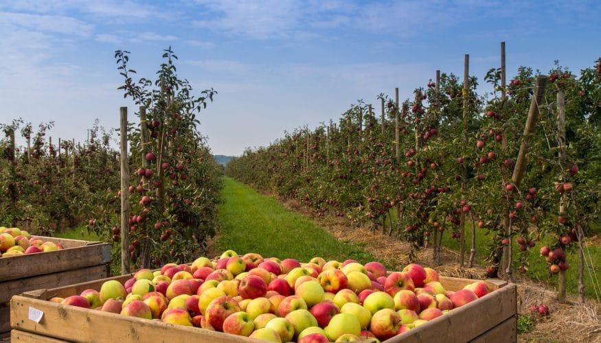 Äpfel aus Neuseeland – Ökologischer als Äpfel aus der Region?