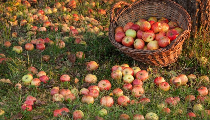 Haben Äpfel oft Würmer?