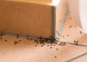 Ameisen im Haushalt