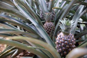 mehrere ananaspflanzen