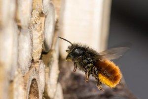 Mauerbiene am Insektenhotel.
