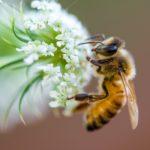 Bienenpflanze mit Biene.