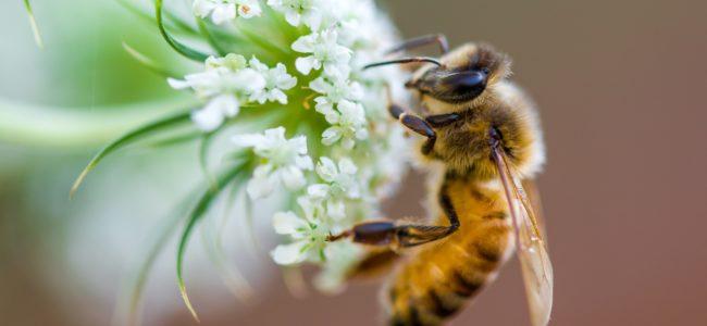 Pflanzen für Bienen: Bienenfreundliche Pflanzen für Garten und Balkon im Überblick