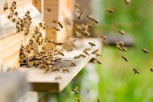 Bienenstock mit Bienen.