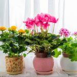 bluehende zimmerpflanzen