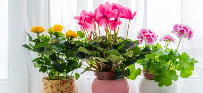 Blühende Zimmerpflanzen: Übersicht der beliebtesten Pflanzen