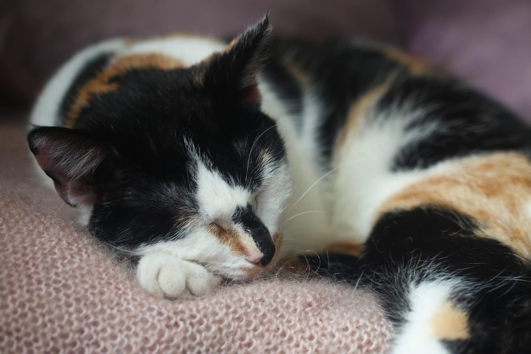Sind dreifarbige Katzen immer weiblich?