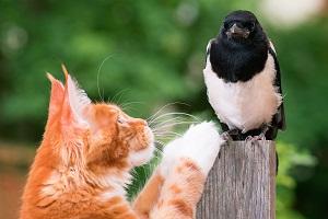 Elstern und Katzen