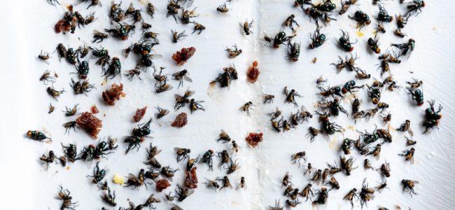 Fliegen loswerden: Mittel gegen eine Fliegenplage in Haus und Wohnung