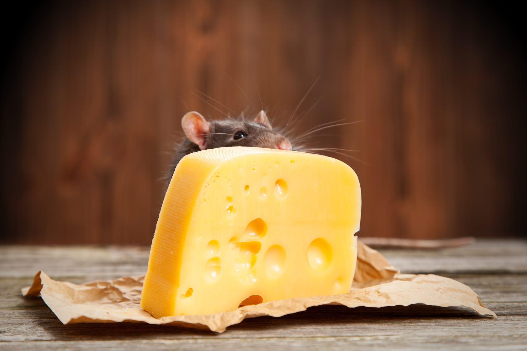 Was Fressen Mäuse fressen mäuse käse? - haushaltstipps