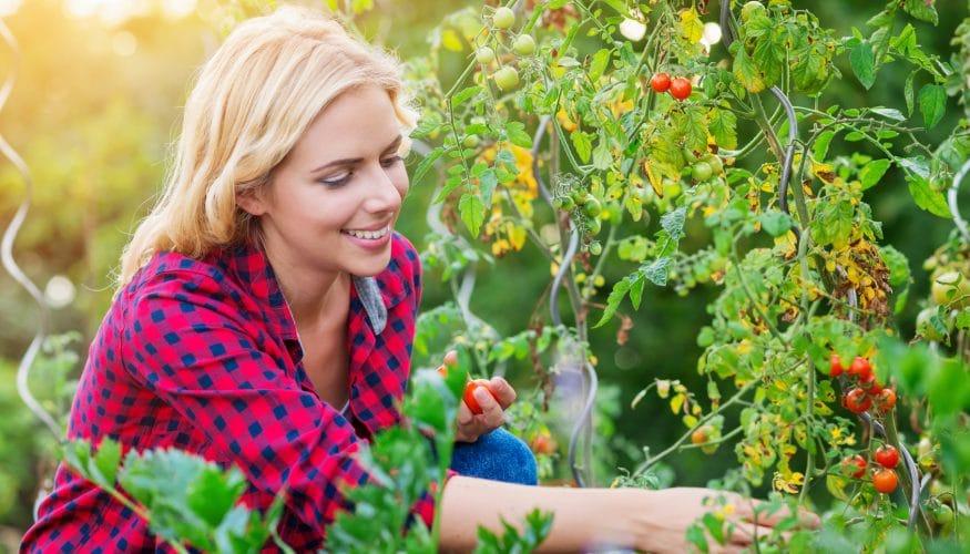 Grüne Tomaten – Sind sie giftig?