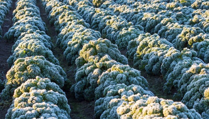 Muss Grünkohl Frost abbekommen?