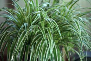 gruenlilie als beliebte zimmerpflanze