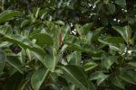 gummibaum gelbe blaetter
