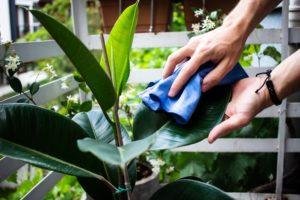 einen gummibaum abwischen