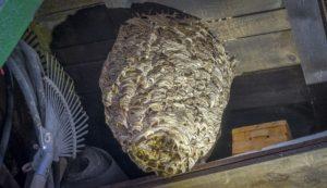 eine grosses hornissennest auf dem dachboden