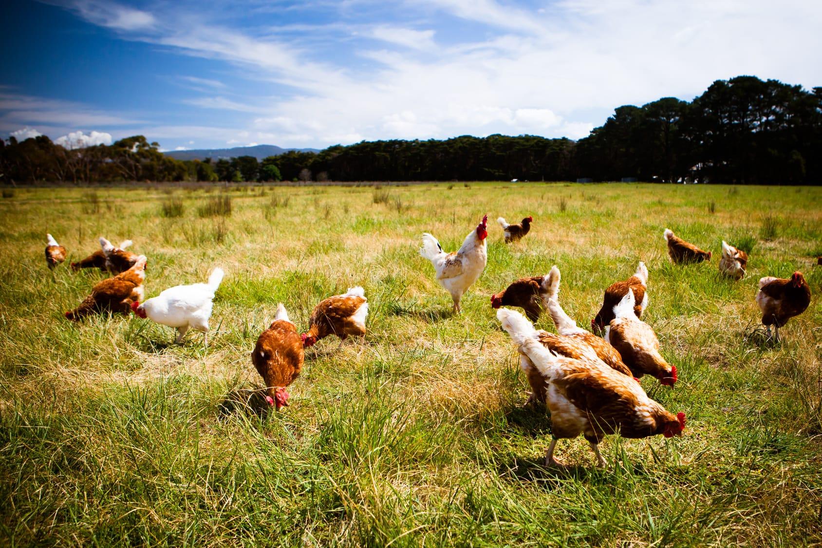 Brauchen Hühner zum Eierlegen einen Hahn?