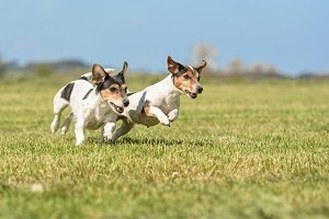 Hunde spielen auf Wiese.