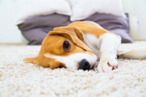 hund entspannt auf einem teppich