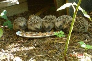 Igel füttern.