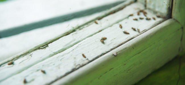Käfer im Haus: Ungeziefer bestimmen und wirkungsvoll bekämpfen