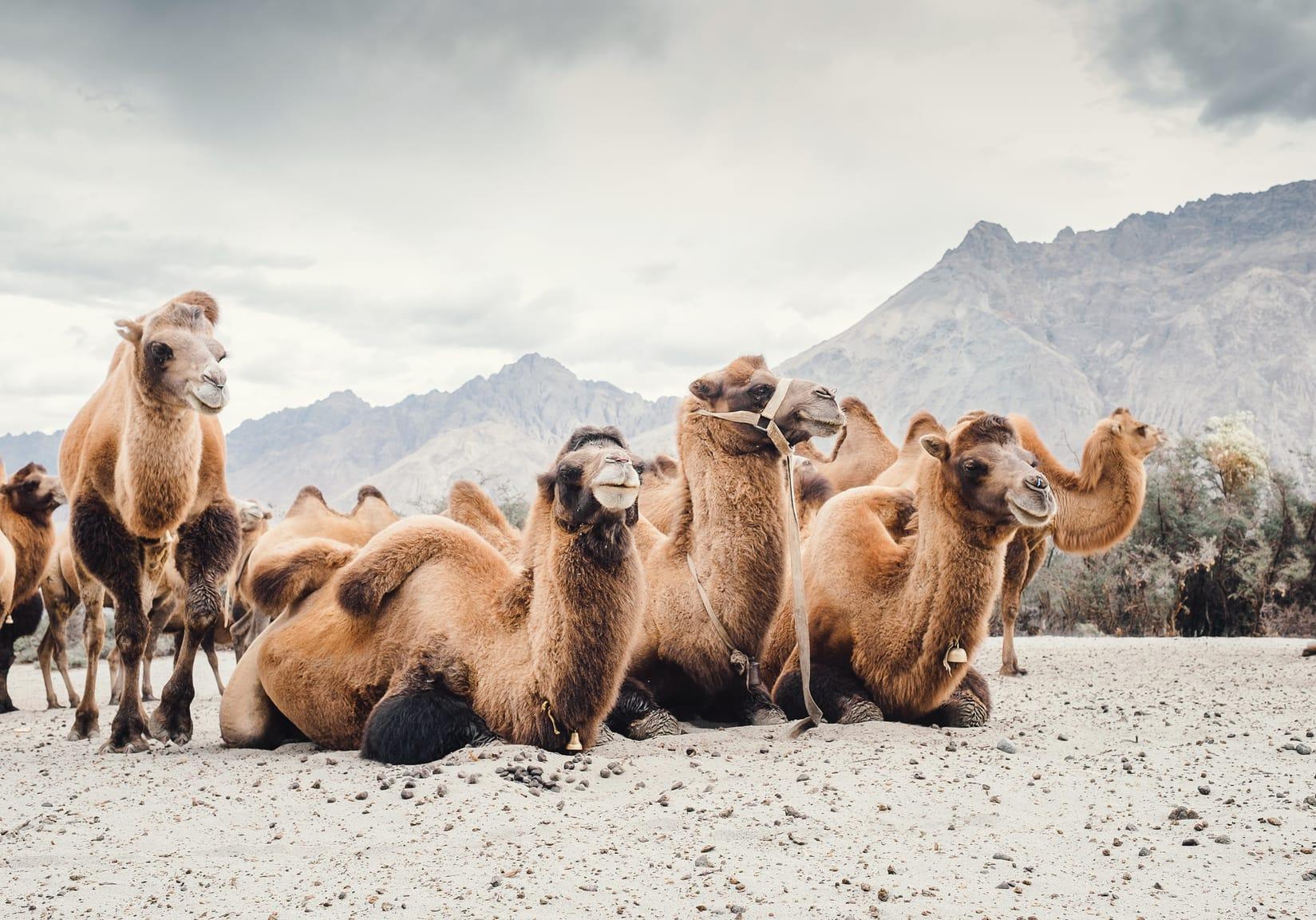 Kamele speichern Wasser in ihren Höckern – Stimmt's?