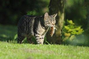 Katze mit Maus im Garten.