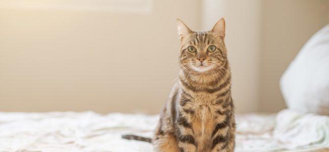 Katze pinkelt ins Bett: Ursachen und wie Sie ihr das Verhalten abgewöhnen können