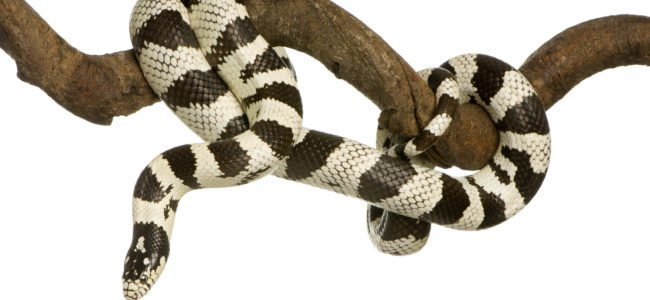 Schlangenbiss: Verhalten beim Biss von einer Giftschlange