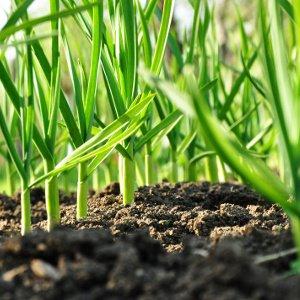 knoblauchpflanzen wachsen