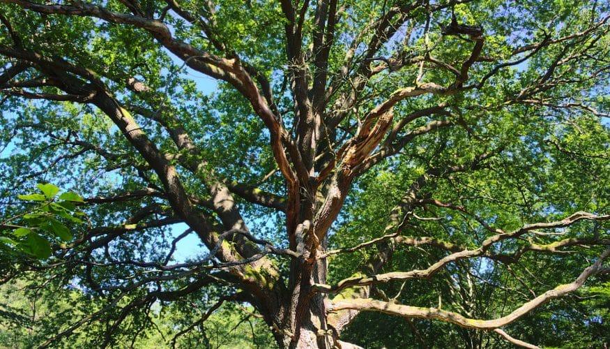 Mit Kupfernägeln Bäume töten – Geht das wirklich?
