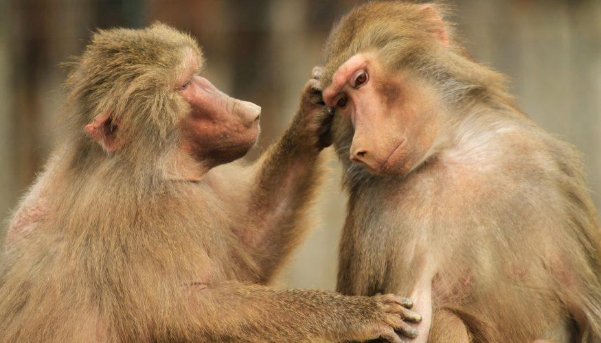 Lausen sich Affen wirklich?