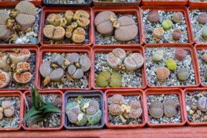 viele verschiedene lebende steine