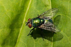 Fliege auf Blatt