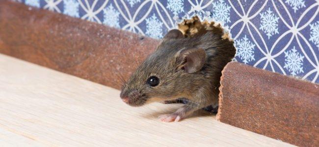 Mäuse vertreiben – 9 Tipps & Tricks