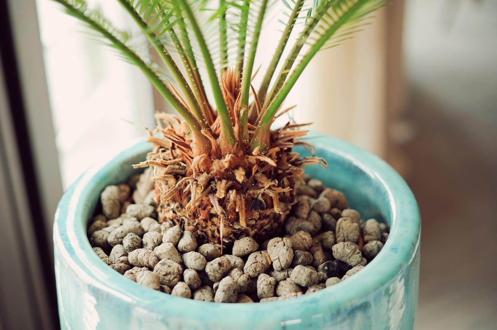 Palmenpflege: Anleitung zum Düngen von Palmen