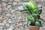 zimmerpflanze im Topf vor einer Steinmauer