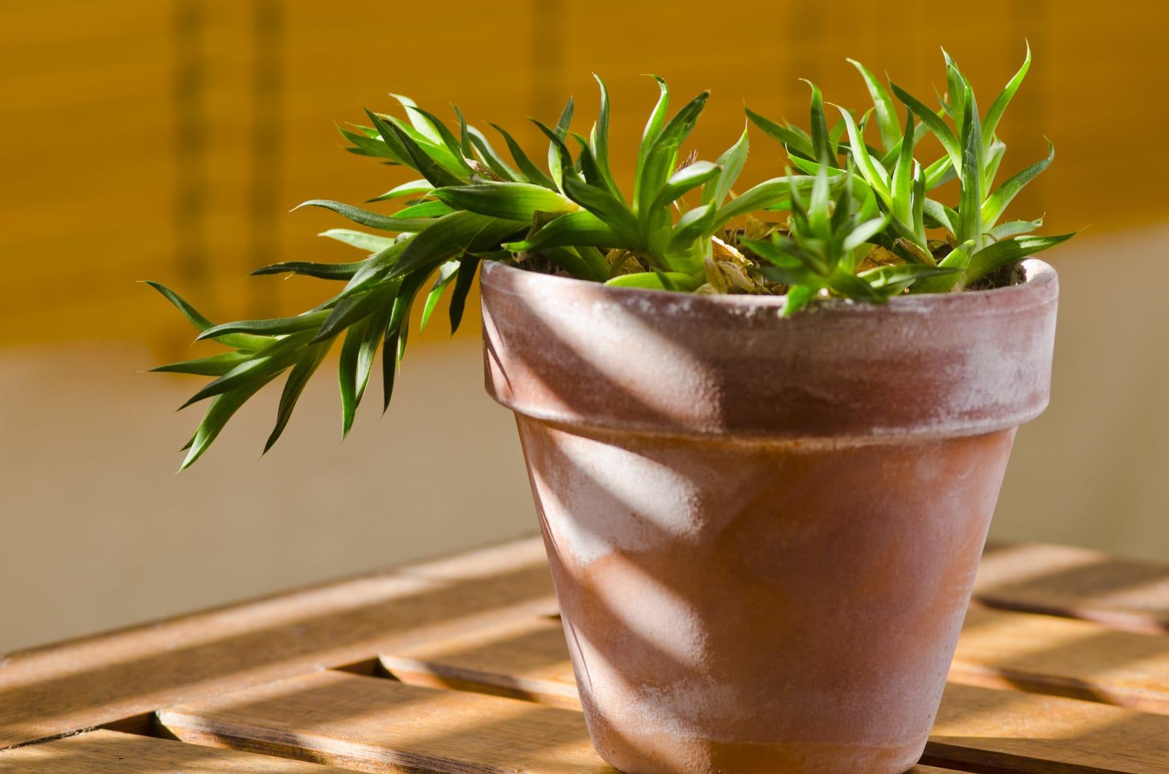 Pflanzen drehen für gleichmäßiges Wachstum? – Ist das sinnvoll?