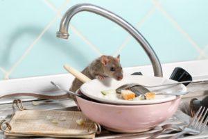 Ratte in der Küche